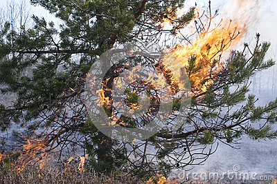 Flames in pine tree crown