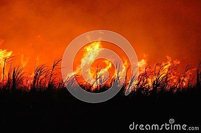 Flaming sugar cane