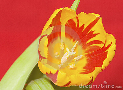 Flaming Tulip 3