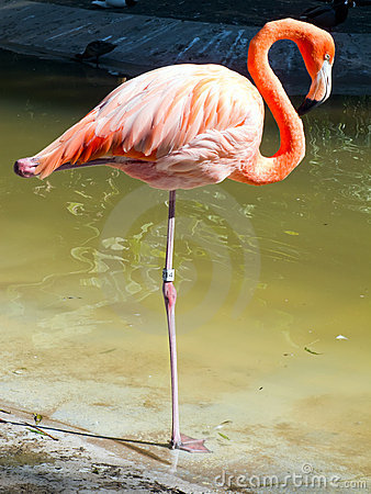 Free Flamingo Stock Photos - 16932453