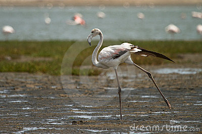 Flamingo Royalty Free Stock Photos - Image: 18389248