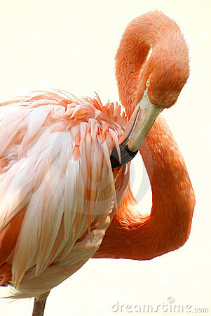 Free Flamingo 2 Stock Photos - 3598903