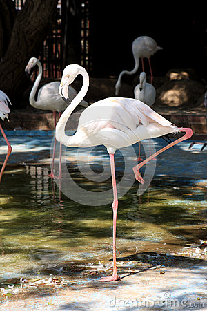 Flamingo Royalty Free Stock Images - Image: 26051649