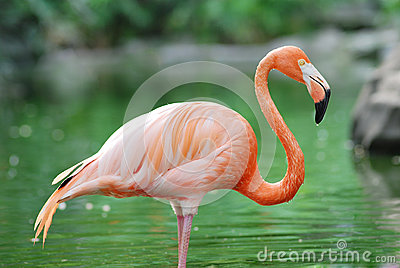 Flamingo Stock Image - Image: 27473051