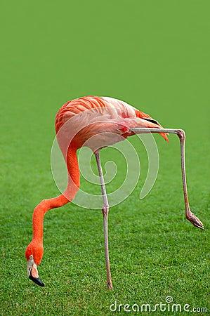 Free Flamingo Royalty Free Stock Photo - 3074695