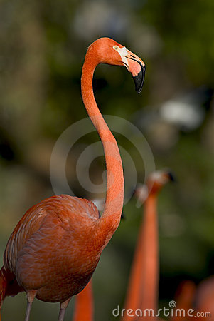 Free Flamingo Royalty Free Stock Images - 537809