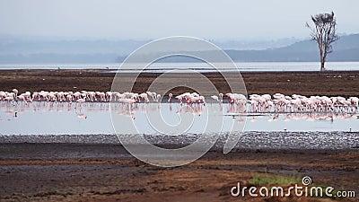 flamingo arkivfilmer