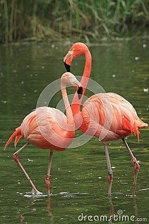 Free Flamingo Stock Photo - 6250670