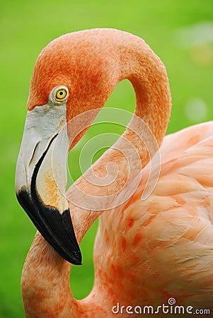 Free Flamingo Stock Photos - 6429553