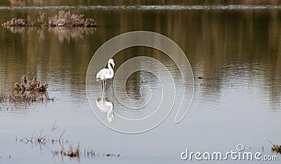 Flamingo bird in a lake