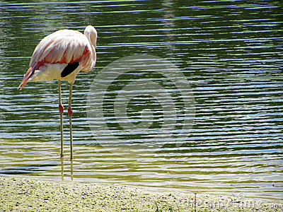 Flamingo bird stood in lake