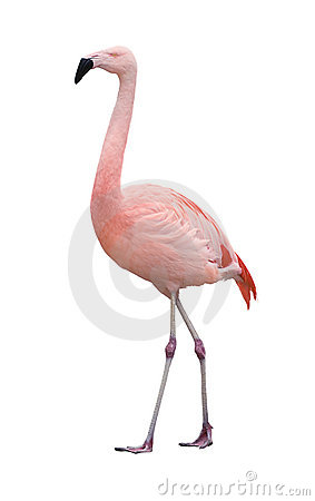 Free Flamingo Bird Walking Left On White Royalty Free Stock Photos - 9773538