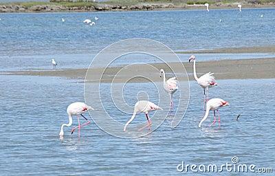 Flamingo birds in Camargue