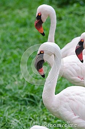 Yellow flamingos for Flamingo beak template
