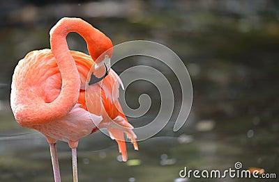 Flamingo cleaning itself