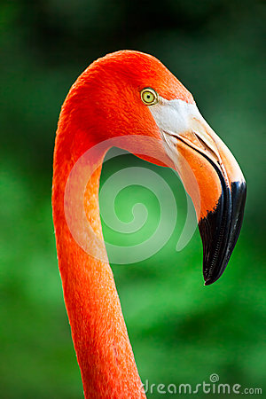 Free Flamingo Close Up Stock Photos - 33421073