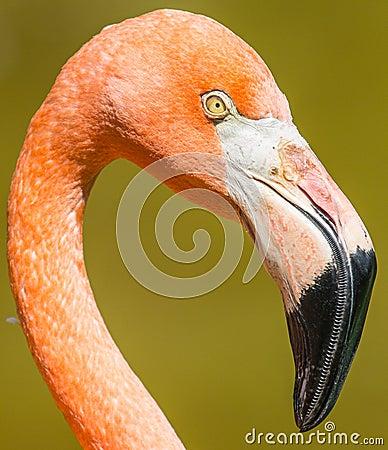 Free Flamingo Closeup Royalty Free Stock Image - 49125516