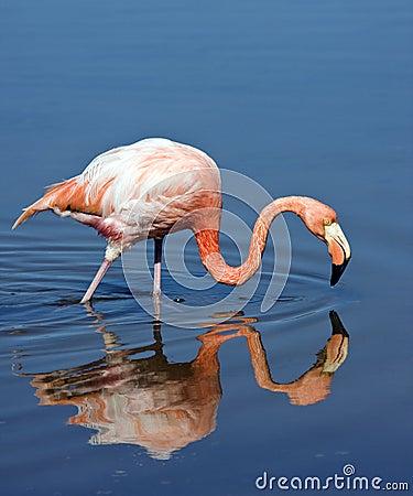 Flamingo - Galapagos Islands