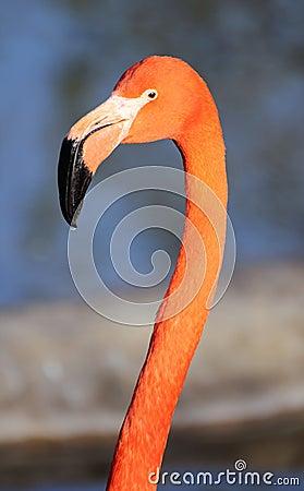 Free Flamingo Head Stock Photography - 14086732