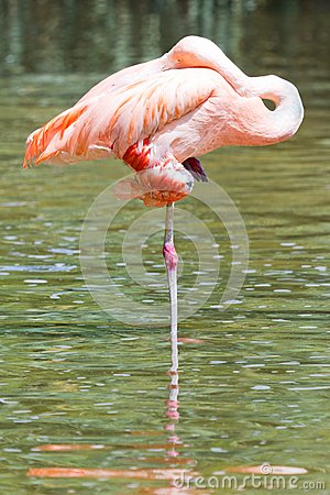 Free Flamingo In The Water Royalty Free Stock Photos - 26203408