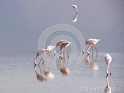 Flamingo in kenya
