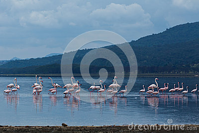 Flamingo on lake