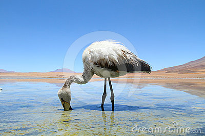 Flamingo on lake in Andes