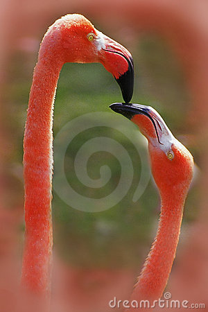 Free  Flamingo Love Birds Stock Photos - 93623