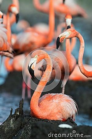 Free Flamingo (Phoenicopterus Ruber) At Nest. Royalty Free Stock Image - 26380686