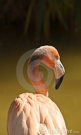 Free Flamingo Portrait Royalty Free Stock Images - 21614679