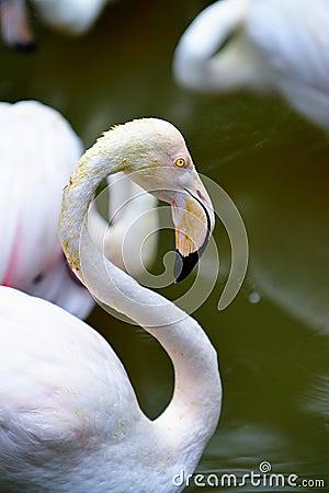 Flamingo Portrait 8