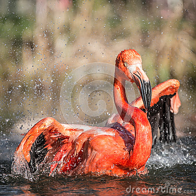 Free Flamingo Portraits Stock Photography - 36411782
