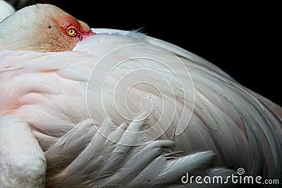 Flamingo at Rest