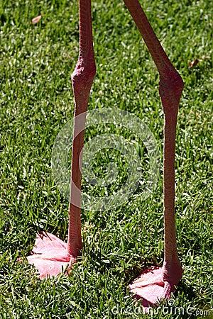 Flamingo s legs
