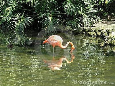 Flamingo s Reflection