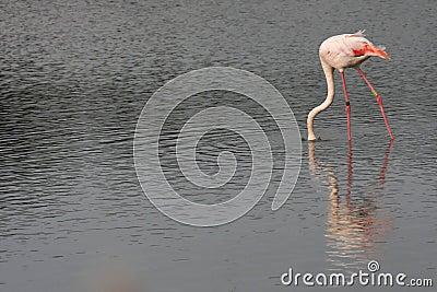 Flamingo searching food