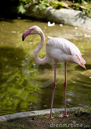 Free Flamingo Standing On Two Leg Royalty Free Stock Image - 14811786