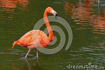 Flamingo walking