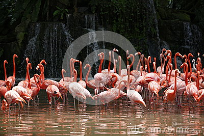 Flamingo with waterfall