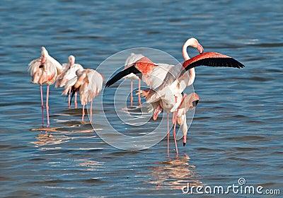 Flamingoes mating