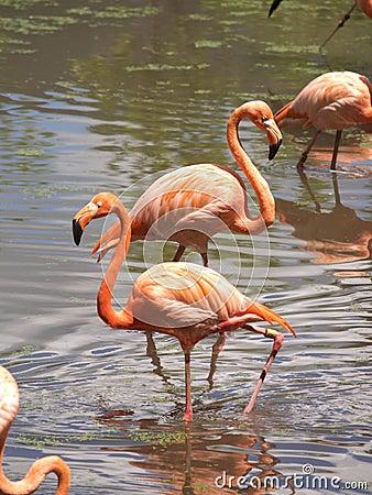Free Flamingos Royalty Free Stock Photo - 2782575