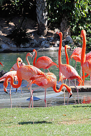 Free Flamingos Royalty Free Stock Image - 7707856