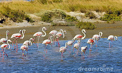 Flamingos in Camargue