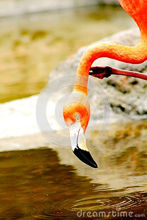 Flamingos drinking