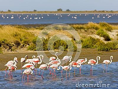 Flamingos em Camargue