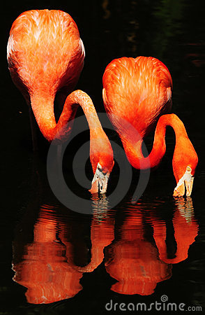 Free Flamingos In Water Royalty Free Stock Photos - 8433048