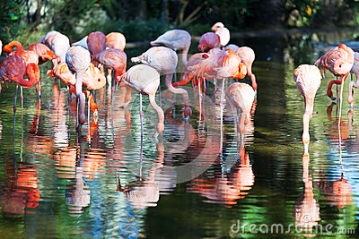 Flamingos standing in pond
