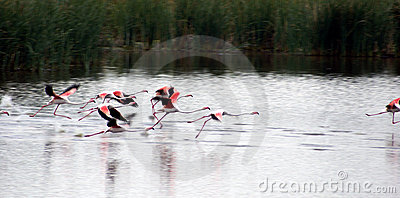 Flamingos Take Off