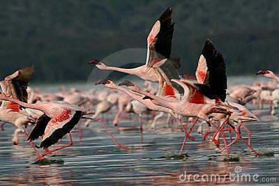 Flamingos taking flight
