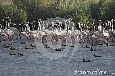 Flamingos walking